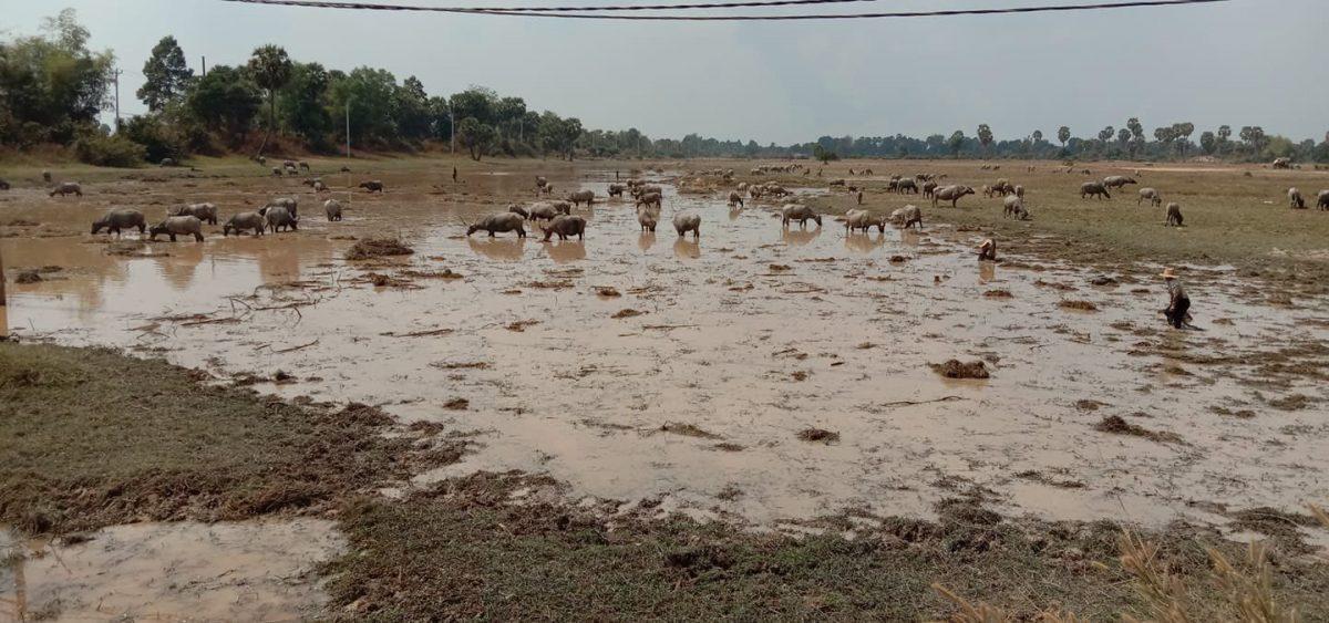 カンボジア_放牧